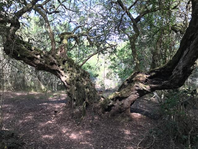 1000 year old milkwood